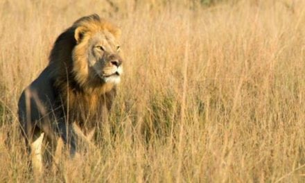 Cecil the Lion's Son Xanda Reportedly Shot by Trophy Hunter in Zimbabwe
