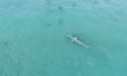 Drone Footage Captures Giant Hammerhead Hunting Blacktip Sharks Off Florida Coast