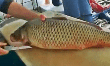 How to Clean a Carp Thoroughly and with Expert Efficiency