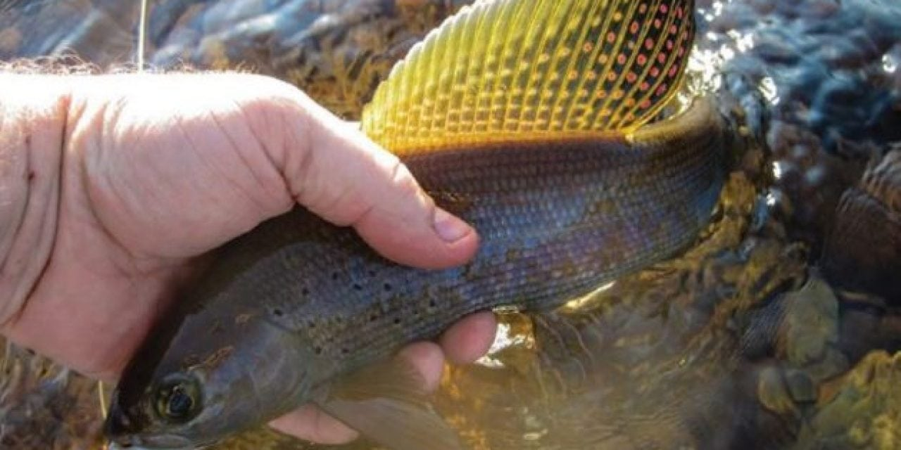 Michigan Has a Plan to Restore Arctic Grayling to its Waters