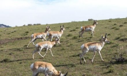 More Pronghorns Means More Hunting Opportunities in South Dakota