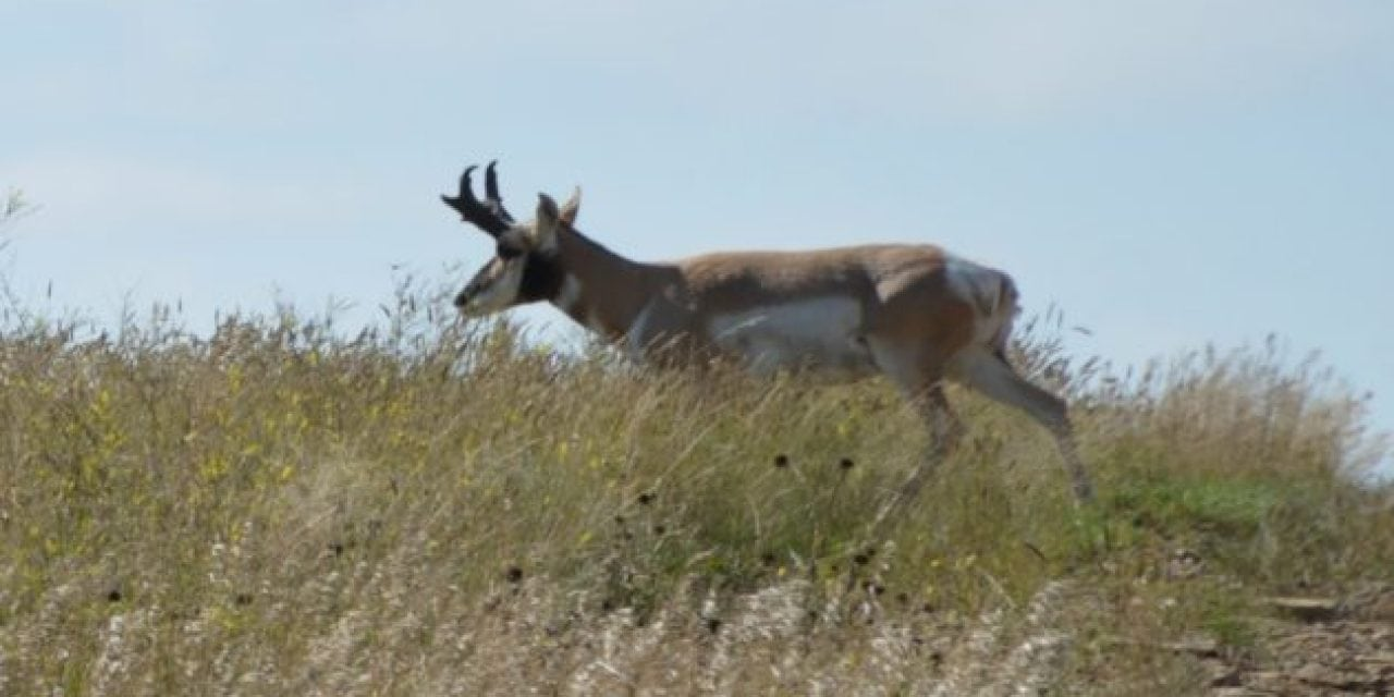 North Dakota Pronghorn Population Might be in Trouble, Here's Why