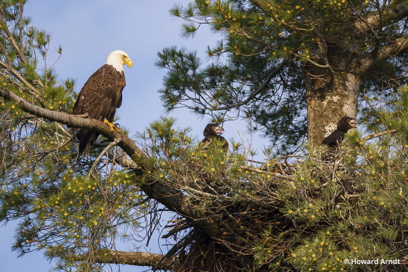 Photographing bald eagles: mother and chicks wait for dinner