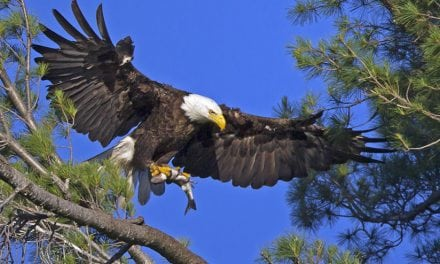 Photographing Bald Eagles Of The Adirondack