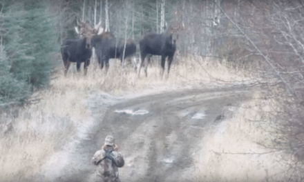What NOT to Do Around a Powwow of Bull Moose