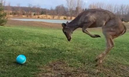 Young Deer Loses its Mind with Excitement While Playing with a Ball
