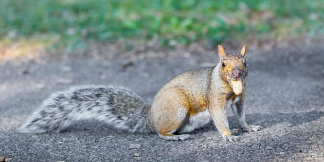A Reason to Small Game Hunt: Aggressive Squirrel Terrorizes Park-Goers