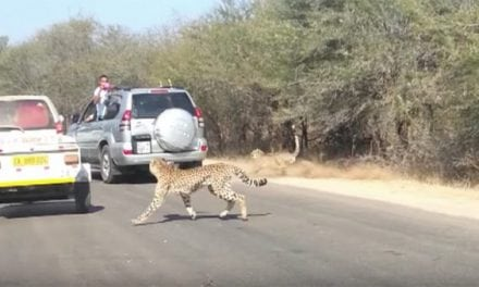 Cheetah Chases Impala Straight Into Tourist's Car Window
