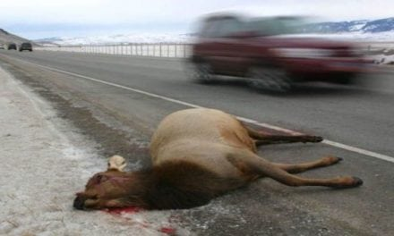 Cleaning Up on Roadkill: Washington Residents Take 1,600 Deer and Elk Home in Law's First Year