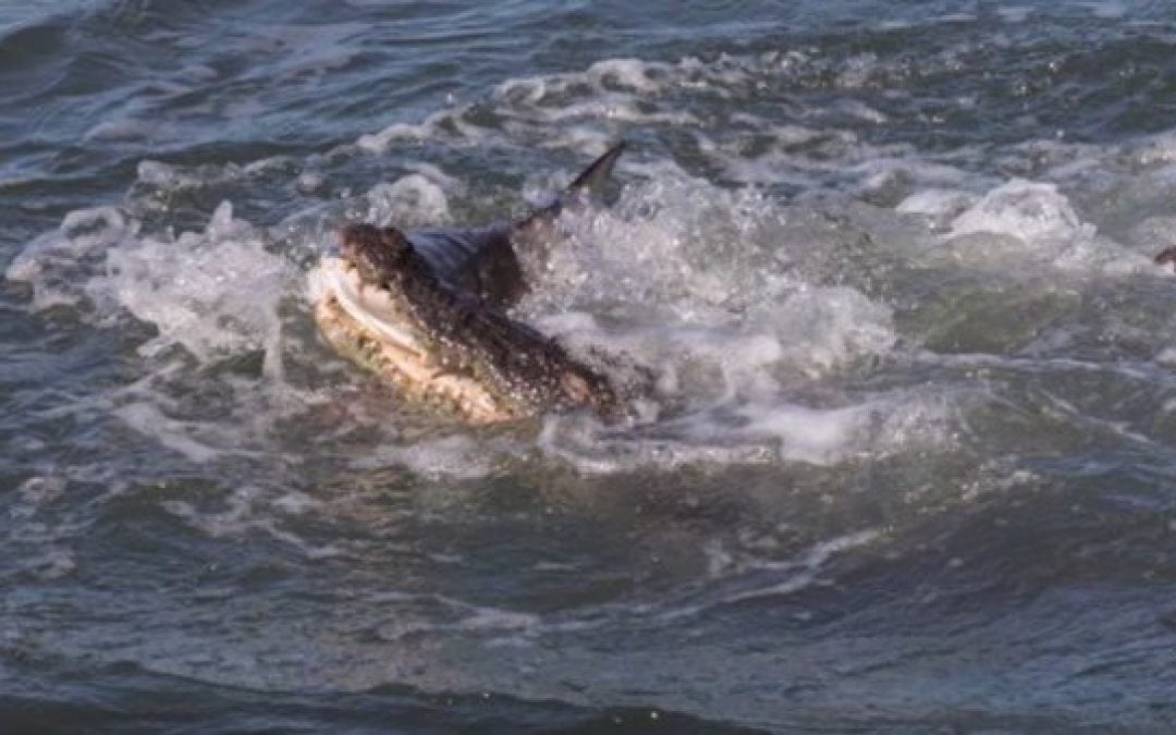 Deathmatch of the Day: Saltwater Croc vs. Shark