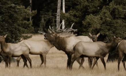 HOMESTEAD is One Elk Hunting Film You Don't Want to Miss