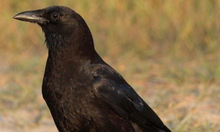 How to Get Started Hunting Crows: 5 Useful Tips