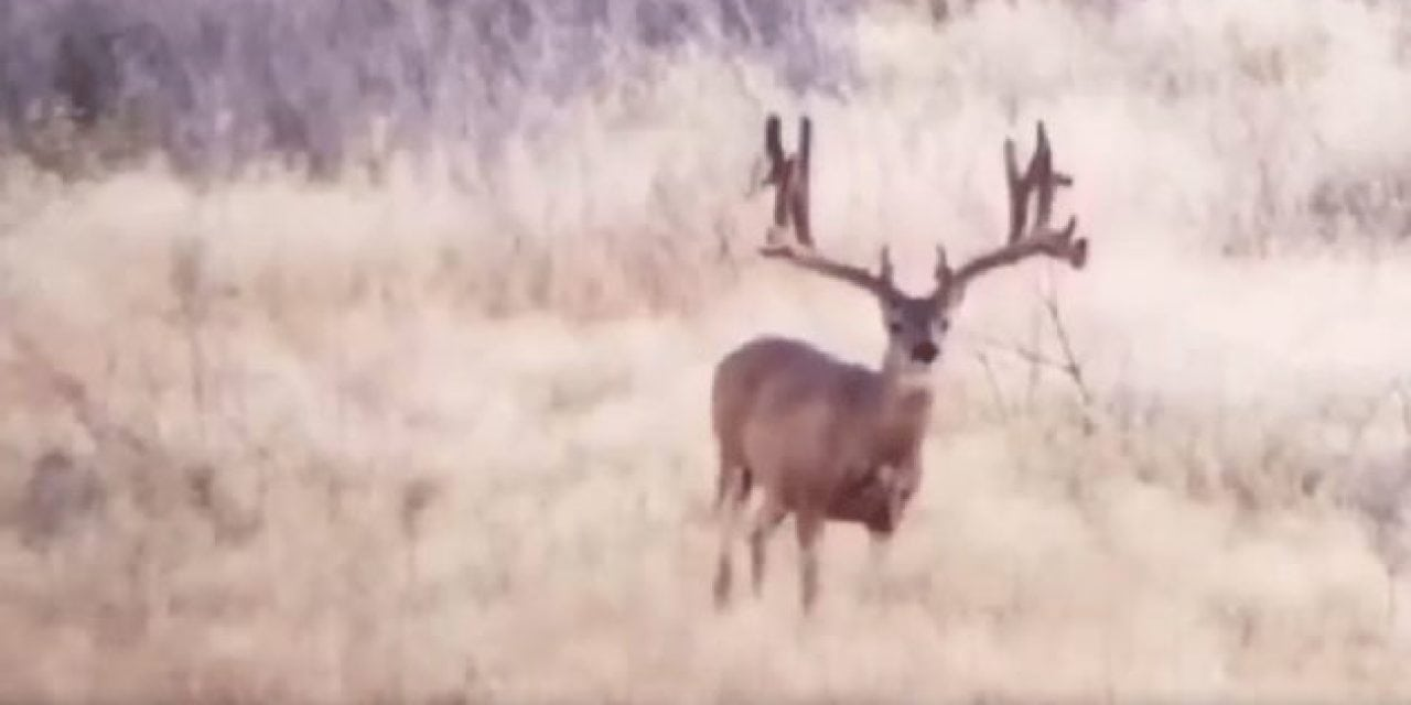 Is This Unbelievable Mule Deer Buck the Biggest You've Ever Seen?