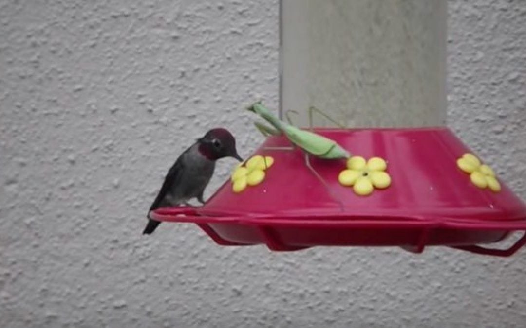 Nightmare Fuel: 7 Times a Praying Mantis Nailed a Hummingbird off a Feeder