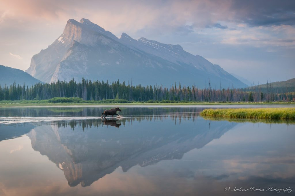 """Today's Photo Of The Day is """"Vermillion Lake Moose"""" by Andrew Kortas. Location: Banff National Park, Alberta, Canada."""