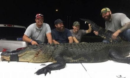Pics: Florida Alligator Hunters Go Big on Opening Week