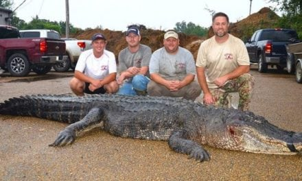 Record-Breaking Gator Caught in Mississippi