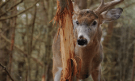 Survey: Rubs Beat Scrapes for the Best Deer Hunting Success