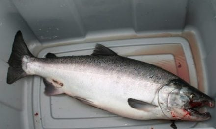 Unprecedented: Alaska Shuts Down Commercial and Recreational King Salmon Fishing