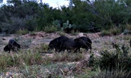 VIDEO: 3 Javelina Smoked with 1 Arrow, You Have Got to See This!