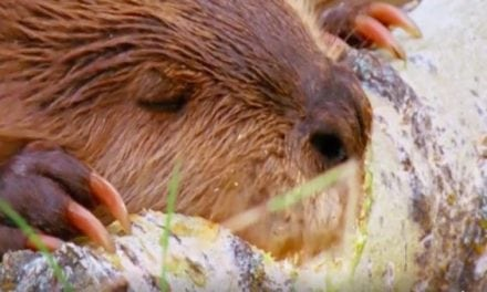 Where Would we be Without the Venerable Beaver? Watch and Find Out
