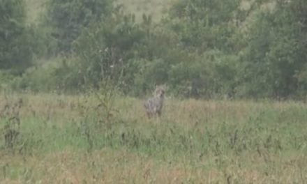 Will Coyotes Respond to a Hog Call? Watch the Video and See