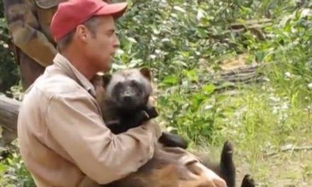 Would You Ever Keep a Wolverine as a Pet? This Guy Does