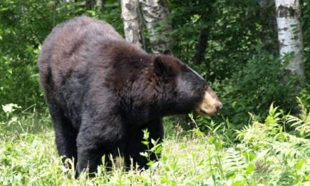Bear Chases Dog Back to Hikers Then Attacks Them