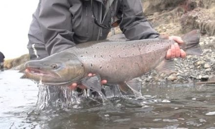 Check Out These Monster Sea-Run Brown Trout In Argentina