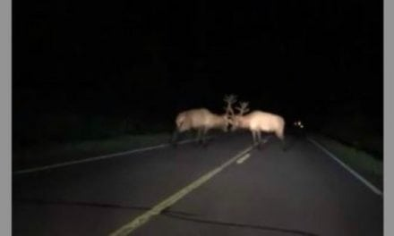 Crazy Video of Bull Elk Battle in the Middle of the Highway