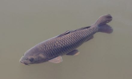 Culling millions of pounds of Asian carp