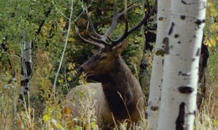 Elk Hunting Video Captures Why We Are Obsessed With This Big Game Animal