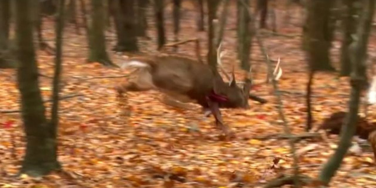 Heart Shot Pours Blood Like a Faucet On This Giant Buck