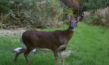 Hunting at Unpopular Times Is an Effective Way to Bag a Deer