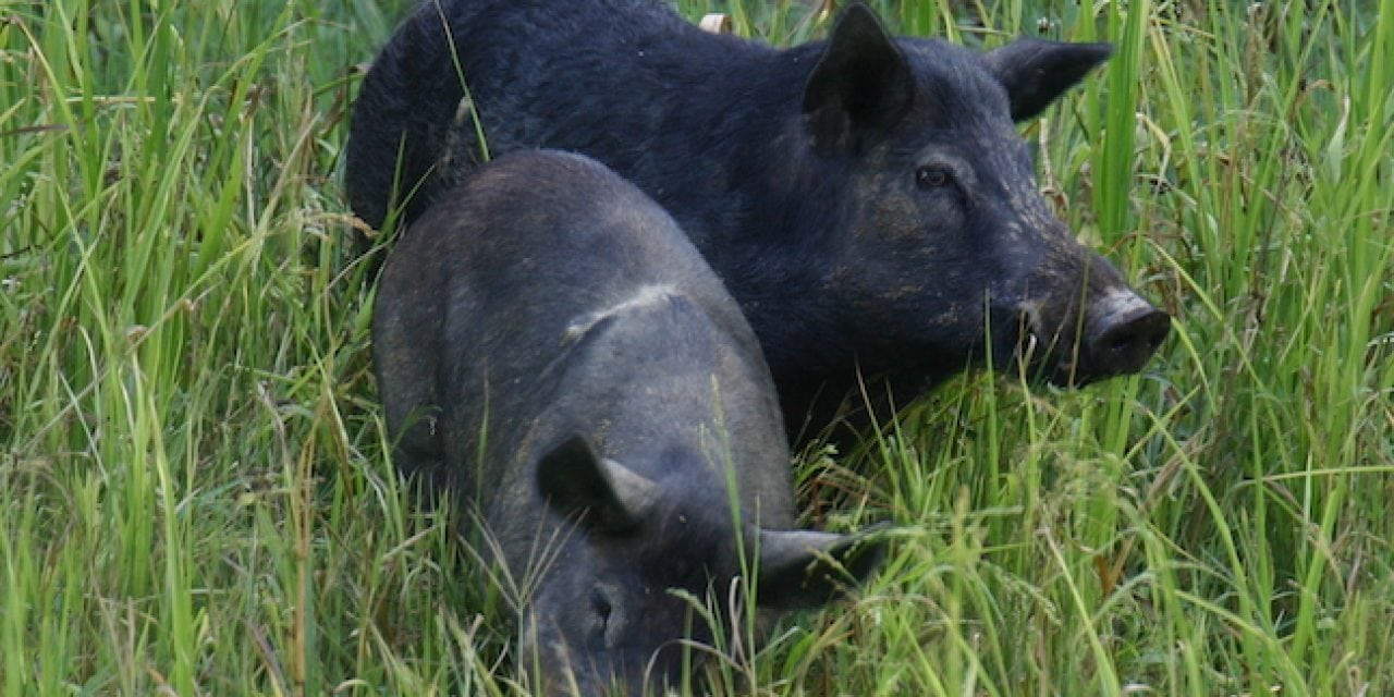 Hunting Wild Hogs: New Rules to Control Population