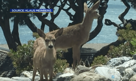 Man Illegally Kills Deer with a Pellet Gun in San Fran Suburb