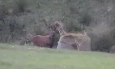 Monster Bull Elk Attacks a Hay Bale and Tosses It Around Like It's Nothing