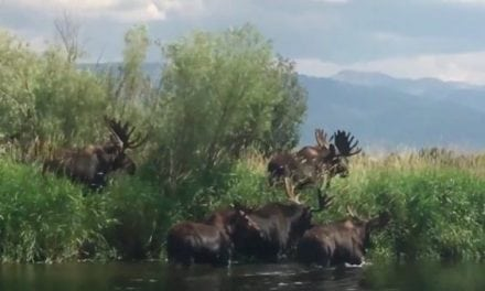 Moose Math: See If You Can Count How Many Bulls Are In This Video