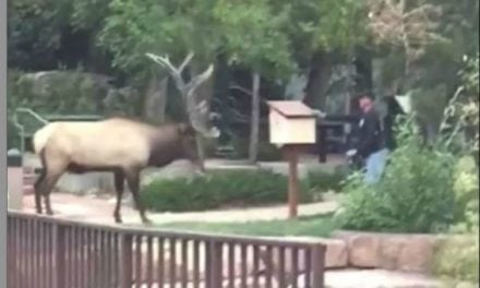 Park Staffer Attacked By Elk in Estes Park, Colorado