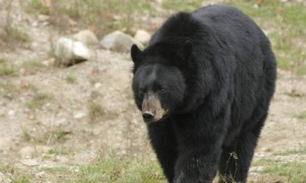 These are the 5 Biggest Black Bear Kills by Hunters in the Record Books