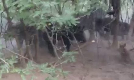 This Hog Hunter and His Dogs Got More Than They Bargained For!
