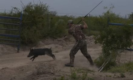 This Point-Blank Hog Hunt with a Spear is Unreal