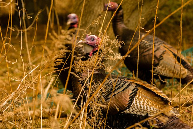 fall turkey hunting