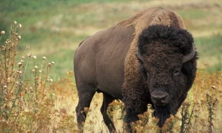 Volunteers Wanted to Thin Out Grand Canyon Bison Herd