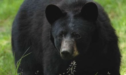 123 Bears Killed, 2 Protesters Arrested in New Jersey Black Bear Hunt