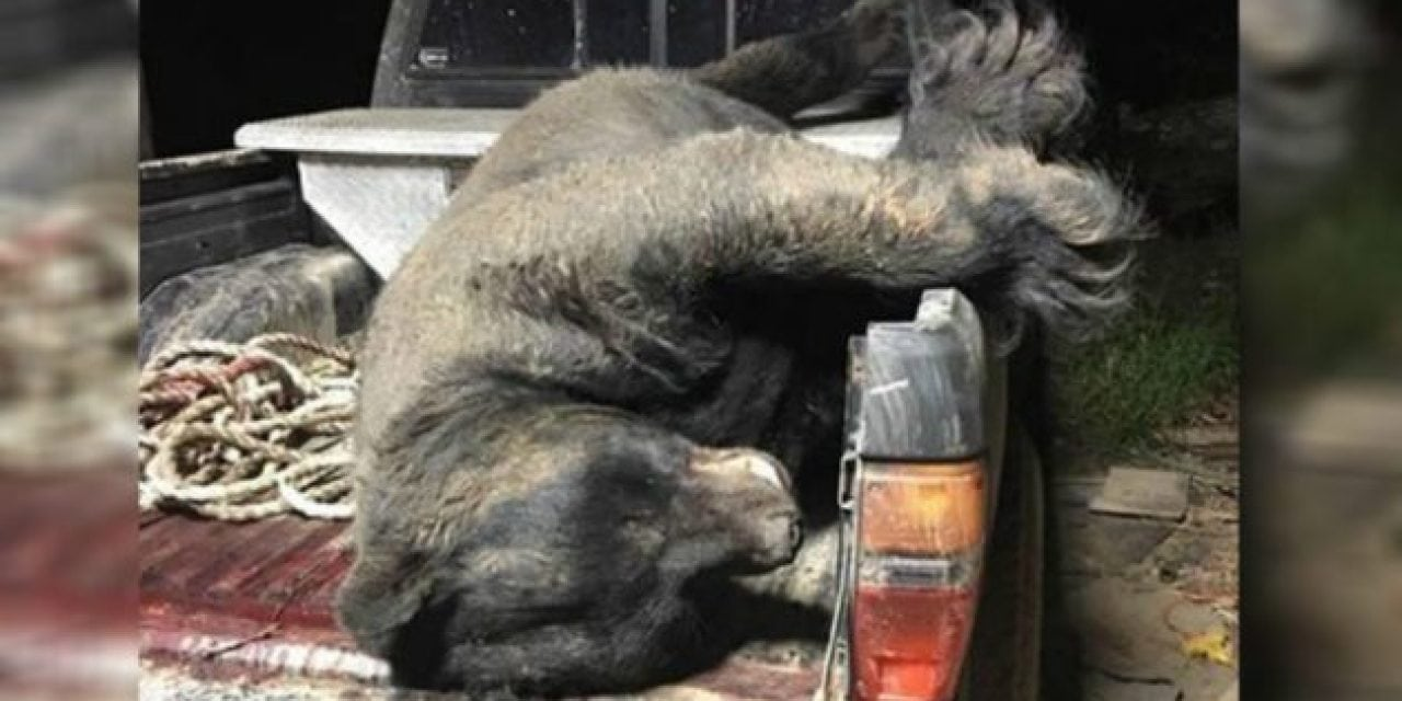 673-Pound Black Bear May Be New Georgia State Record