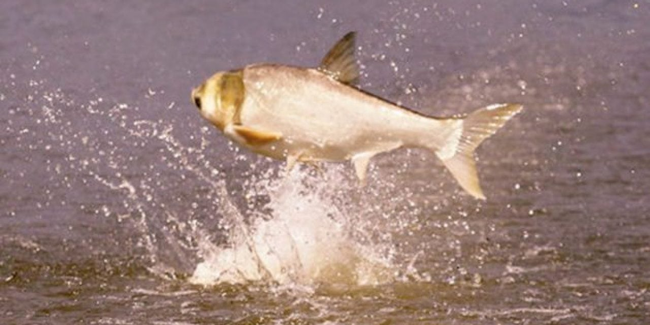 Arkansas Lake to Combat Asian Carp with Commercial Fishing