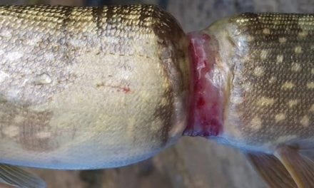 Can You Guess What Caused This Crazy Pike Deformity?