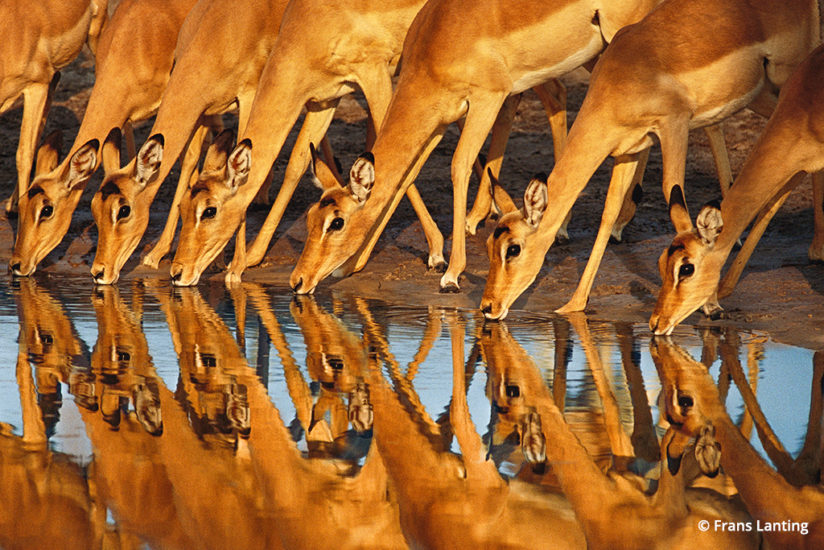 Into Africa: impalas in Botswana