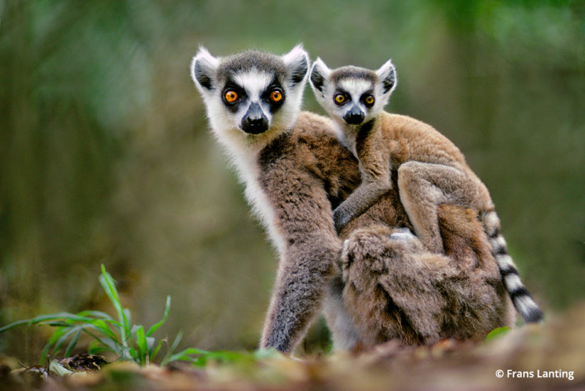 Into Africa: ring-tailed lemur in Madagascar